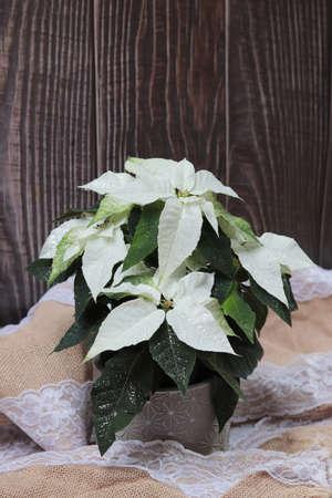 A vertical shot of Poinsettia (Euphorbia pulcherrima) plant pot with glitters on wooden background Banco de Imagens