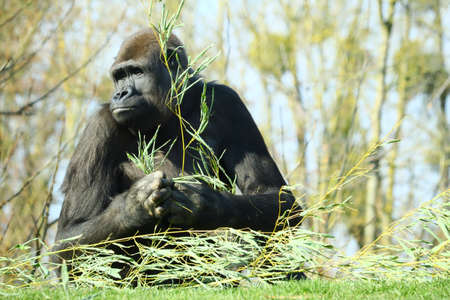A black gorilla with a branch of a plant in its hands surrounded by trees
