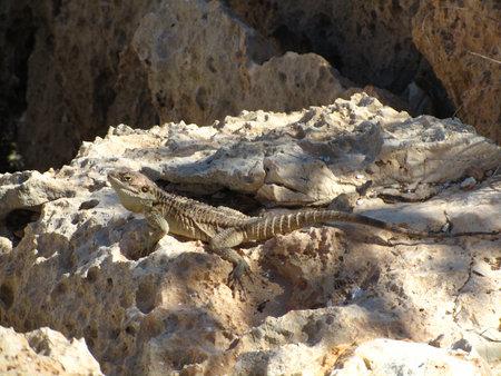 A sling-tailed Stellagama stellio rock agama crawling on rocks Reklamní fotografie