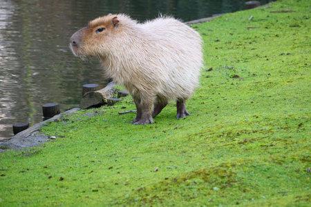 A grey capybara standing on a field of green grass next to the water Zdjęcie Seryjne