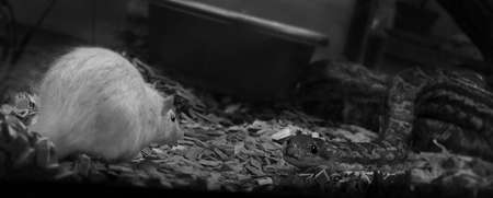 A greyscale closeup of a snake and a white mouse under the lights Reklamní fotografie