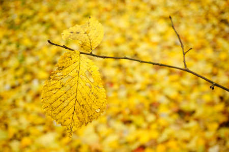 A branch of a yellow dry leaf surrounded by many others on the ground