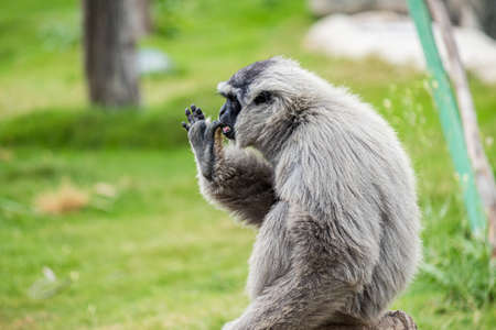 A gibbon sitting on the green grass during daytime