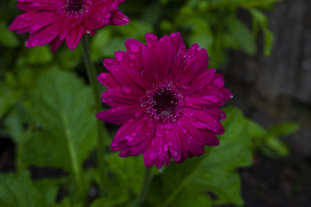 A selective focus shot of beautiful gerbera with water drops