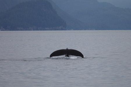 A humpback whale fluke in the sea in Alaska