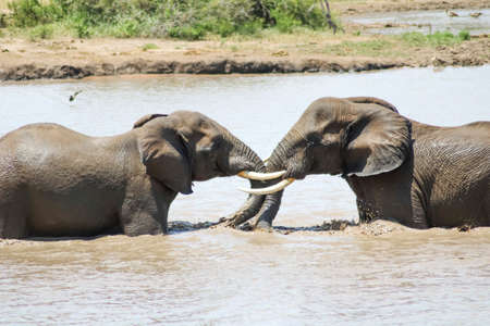 Young elephants playfully interact with each other in river at Kruger National Park, South Africa