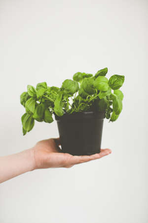 A vertical shot of a woman holding a flowerpot of green plants with a white clear background 免版税图像