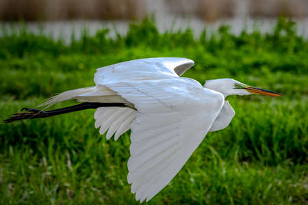 Great Egret shot off the Boardwalk during Spring migration at Magee Marsh Wildlife Area in Oak Harbor, Oh