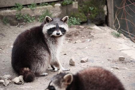 A selective focus shot of a raccoon looking towards the camera