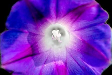 A closeup shot of a beautiful morning glory flower