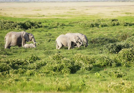 A herd of elephants roaming on the green savanna of Amboseli, Kenya