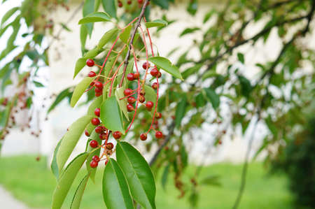 A selective focus shot of red berries on tree 免版税图像