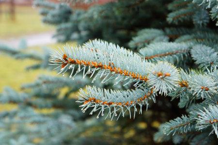 A closeup shot of a pine tree branches 免版税图像