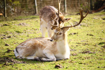 Two White-tailed deers in a field surrounded by greenery under the sunlight with a blurry background 免版税图像