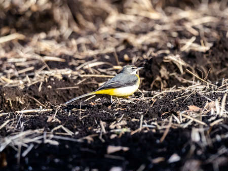 A beautiful shot of a cute grey wagtail bird on the ground in the field in Japan