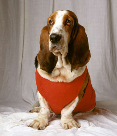 A beautiful shot of a Basset Hound dog wearing red clothes sitting on a white cloth with a gray background Banco de Imagens