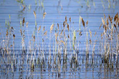 A lot of common reed by the lake during daytime