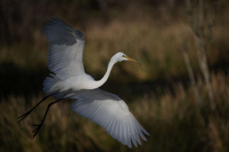 A beautiful shot of an egret with its wings open