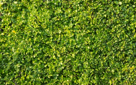 hedges: Green leaves wall background