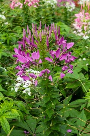 flower spider: Purple cleome flower (spider flower)