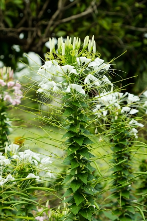 flower spider: White cleome flower (spider flower)
