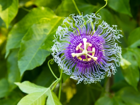 Passion flowers or passion vines (Passiflora edulis)
