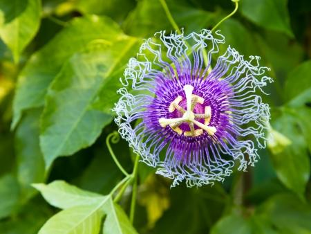 Passion flowers or passion vines (Passiflora edulis)