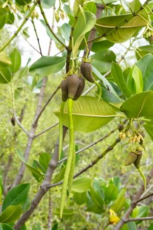 Stilted Mangrove  Rhizophora stylosa  with fruit or seed Stock Photo