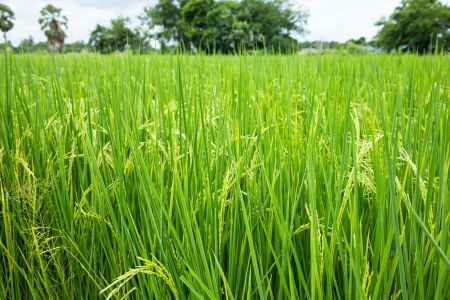 plant seed: Rice plant in the field with seed