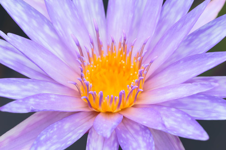 Purple water lilly in the lake close-up photo