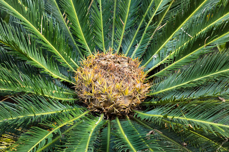 cycadaceae: cycas circinalis (queen sago) female cone