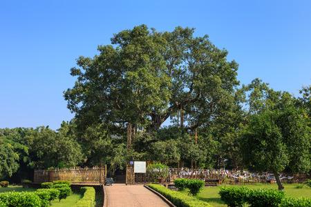 uttar: Ancient bodh tree in Jetavana monastery, Shravasti, Uttar Pradesh, India