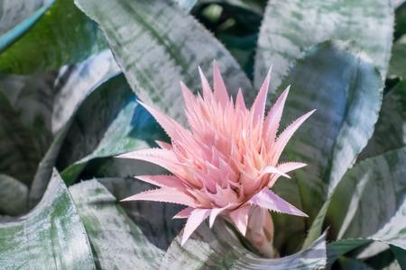 Pink bromeliad in garden