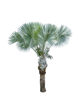 Fan palm tree on white background for architecture designing Imagens