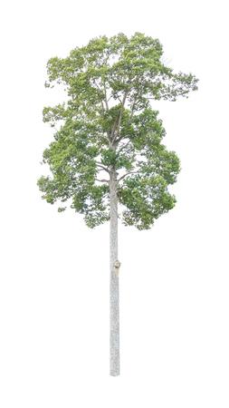 Yang Na or Dipterocarpus alatus on white background
