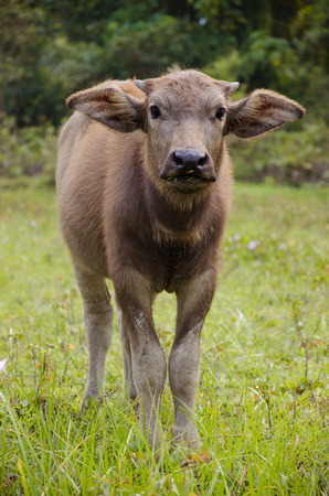 outbound: Little Brown Buffalo Standing In The Field