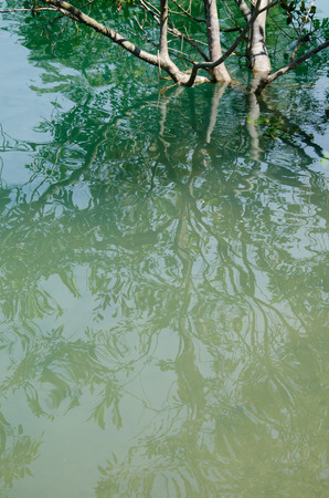clear water: Reflection of Mangrove In Natural Clear Water