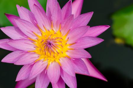 magenta: Magenta Lotus Blooming. Stock Photo