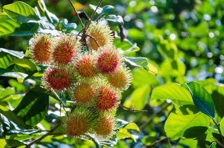 rambutan tree stock photos images. royalty free rambutan tree, Natural flower