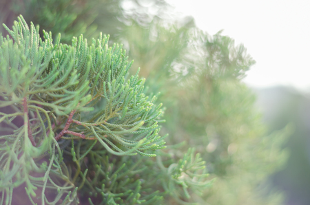 soft   focus: Juniper Tree In Winter Foggy Morning (soft focus background). Stock Photo