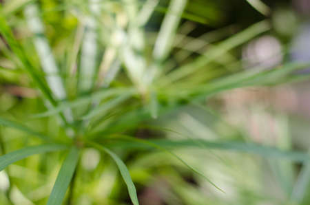 Green Leaf of Sedge Plant in th natural Pond in Blurry Background. Stock Photo