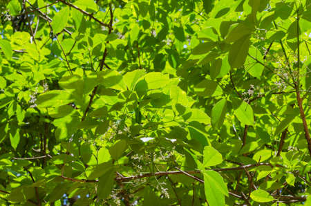 Green Foliage of Para Rubber Tree with Sunlight.