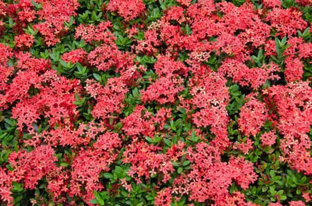 Red Needle Flower (or botanical name is Ixora Coccinea) is Blooming.