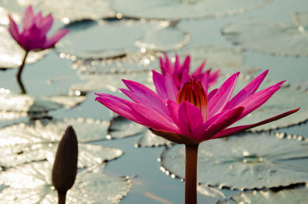 Magenta Lotus Blooming in Natural Pond.