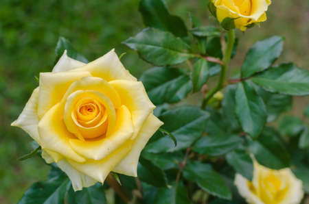 Yellow Rose is Blooming in Natural Garden.
