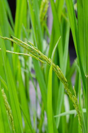 Green Plant of Rice in the Natural Paddy Field of Thailand. Foto de archivo