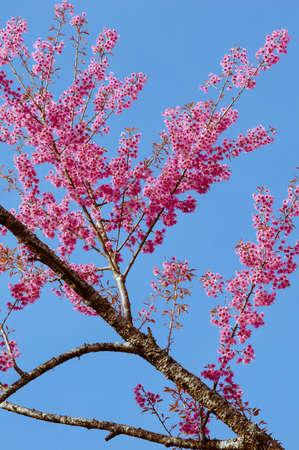 The Pink Cherry Blossom is Blooming.