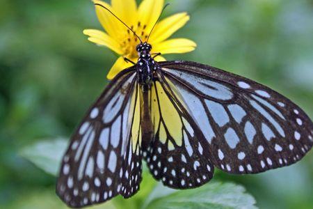 lepidopteran: Butterfly on a yellow flower