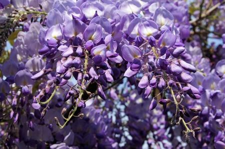 violett: Wisteria