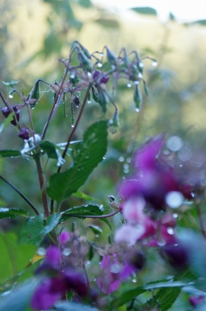 violett: morning drops on violett flowers